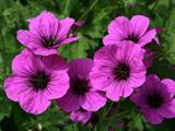 تصویر گل های ارغوانی بهاری