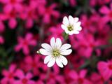 عکس والپیپر شاخه گل سفید