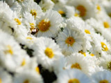 تصویر پس زمینه گلهای بابونه سفید