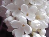 عکس گل یاس سفید
