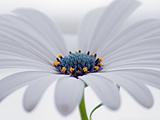 عکس گل استئوس پرموم