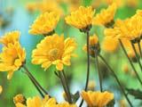 عکس گل بابونه زرد رنگ