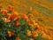 دشت گل های شقایق نارنجی