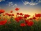 طبیعت گل های شقایق