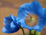 گل شقایق آبی رنگ