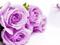 گل رز بنفش