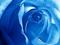 عکس بسیار زیبا گل رز آبی