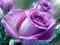 زیباترین عکس از گلهای رز ارغوانی