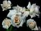 عکس گلهای رز سفید زیبا