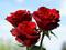 زیباترین گل های رز هلندی