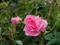 عکس گل محمدی صورتی