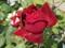 گل رز سرخ مخملی طبیعی