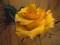 گل رز زرد با قطره های شبنم