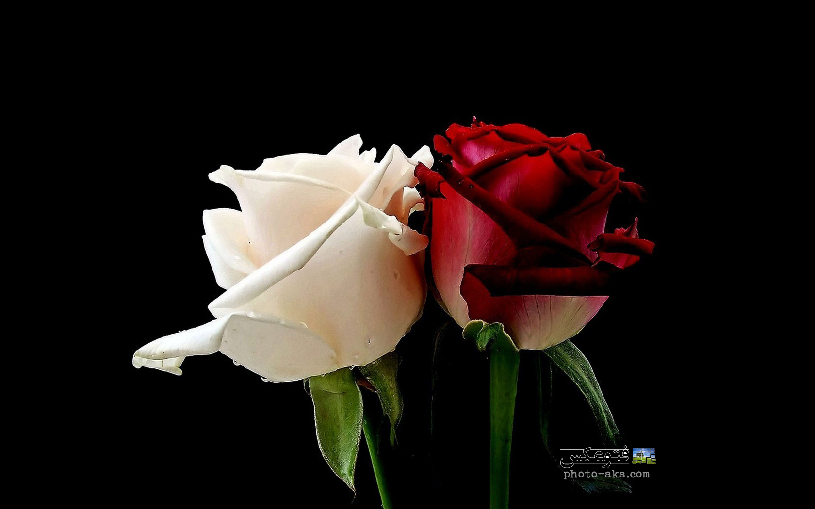 http://pic.photo-aks.com/photo/nature/flowers/rose/large/flowers_white_roses_red_rose.jpg