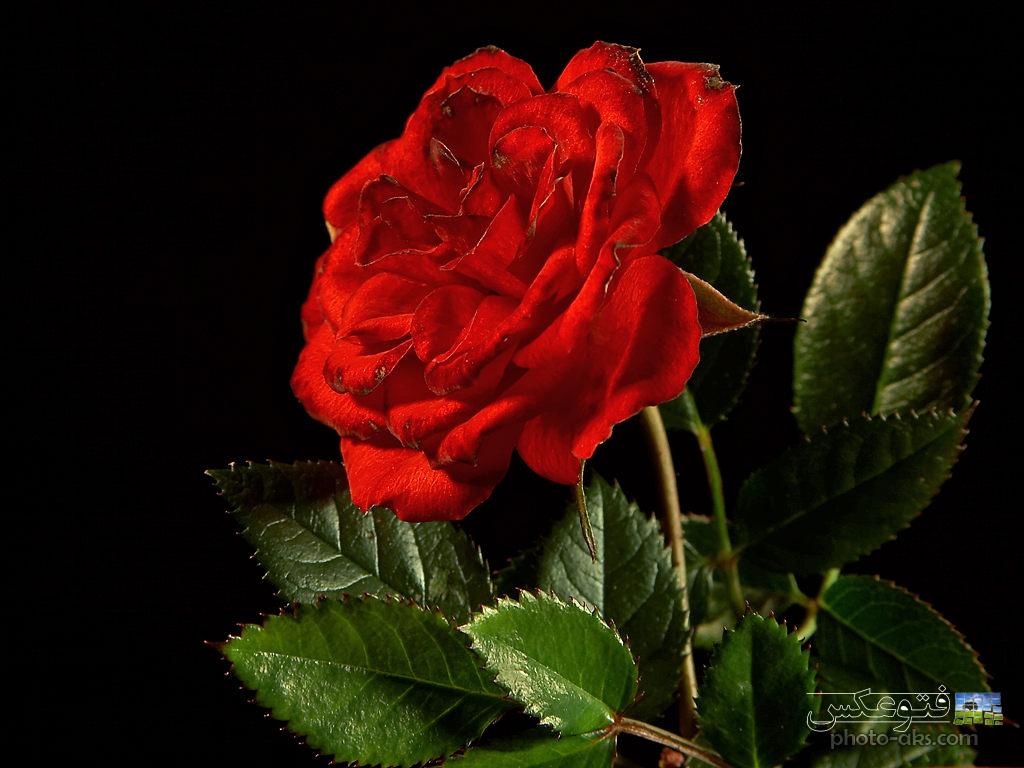 http://pic.photo-aks.com/photo/nature/flowers/rose/large/red_roze_image.jpg