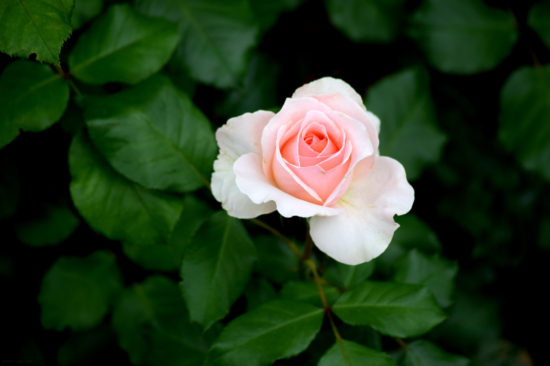 عکس گل رز نقره | سایت عکس