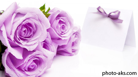 گل رز بنفش lilac rose