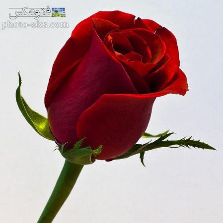 عکس شاخه غنچه گل رز bench of red rose