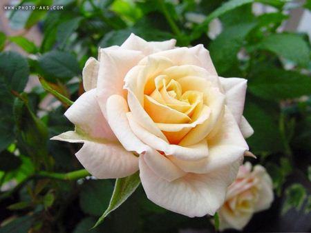 گل سفید flower white
