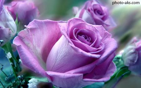 زیباترین عکس از گلهای رز ارغوانی hot pink flower rose