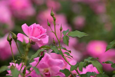 عکس شاخه گلهای رز صورتی rose flowers pink