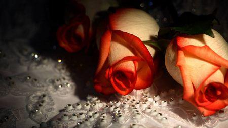 زیباترین شاخه گل های رز beautiful rose wallpaper
