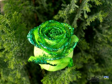 green_rose_flower.jpg