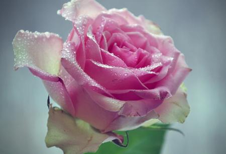 شاخه گل رز صورتی روشن زیبا light pink rose