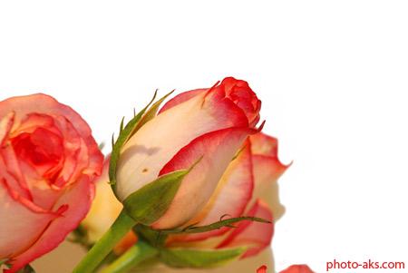 گل رز لب ماتیکی orange rose flower