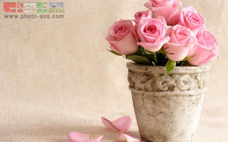 زیباترین گل های رز صورتی pink rose flowers on pot
