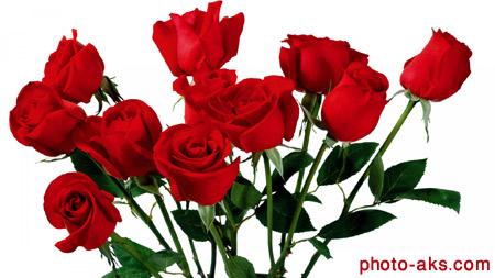 زیباترین شاخه گل های رز red roses wallpaper