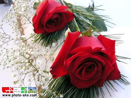 زیباترین گل های لاله قرمز جهان beautiful flowers in word