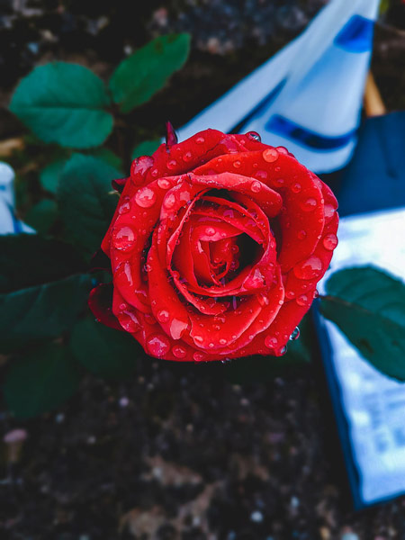 عکس شاخه گل رز قرمز rose bud drops