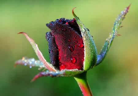 عکس قطرات باران روی غنچه گل رز rose bud flower drops