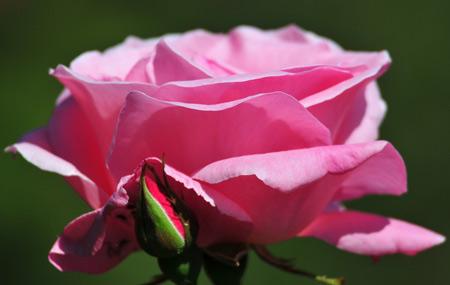 شاخه گل رز صورتی زیبا rose petals pink flower