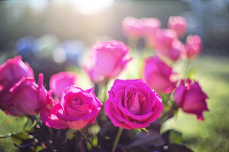 جدیدترین عکس گلهای رز صورتی roses pink light
