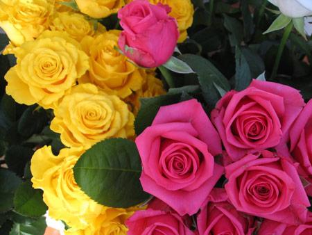 عکس گل رز زرد و صورتی طبیعی rose flowers pink yellow