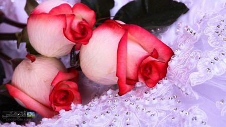 عکس گل های رز سرخ و سفید rose background