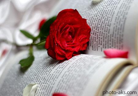 عکس عاشقانه شاخه گل رز red rose in love