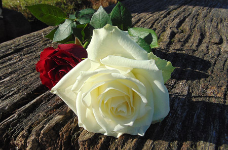 شاخه گل رز سفید طبیعی white rose flower