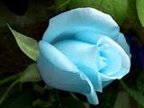 عکس گل رز آبی روشن