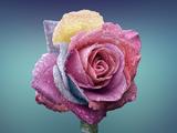 عکس شاخه گل رز رنگارنگ