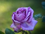 عکس شاخه گل رز بنفش