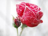 عکس شاخه گل رز یخ زده