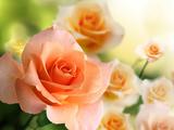 پوستر زیبا از گل های رز پرتغالی رنگ