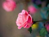 شاخه گل رز صورتی جدید