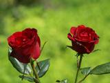 عکس دو شاخه گل رز قرمز طبیعی