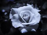 عکس گل رز سیاه سفید