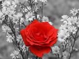 گل رز با زمینه سیاه و سفید