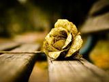 عکس شاخه گل رز طلایی